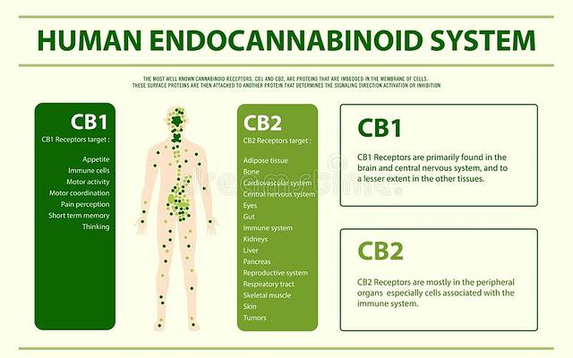 Endocannabinoid- System